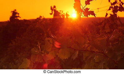 Grapevine in vineyard against the setting sun