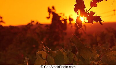 Grape leaves shining in rays of the setting sun over...