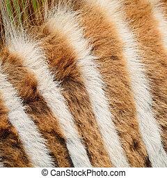 Common Zebra skin - Animal skin, Common Zebra or Burchell's...