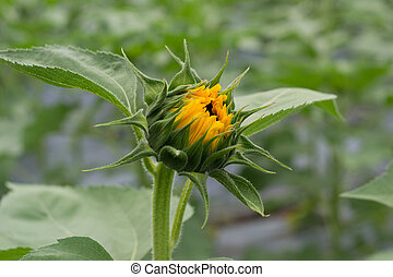 undeveloped bud of sunflowers