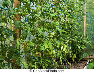 Crop of tomatoes in a hotbed. - Bed with tomatoes growing on...
