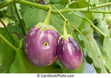 eggplant growing on tree