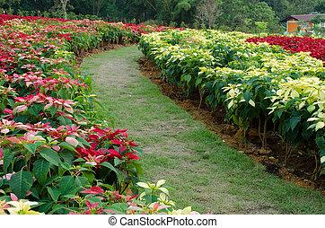 Poinsettia garden