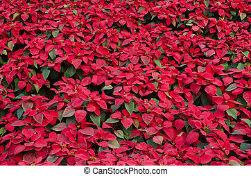 Red poinsettia flower christmas star