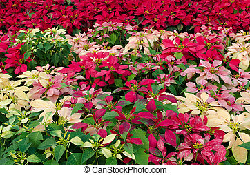 Colorful Poinsettia flower christmas star