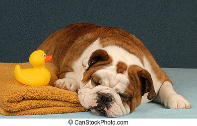 dog bath time - english bulldog pouting over having to have...