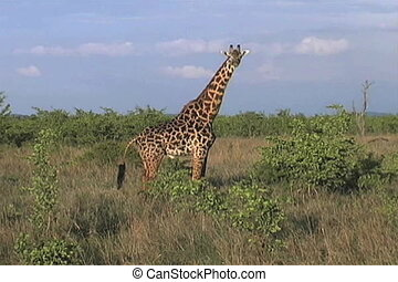 Masai Giraffe - Giraffe walking against a stunning blus sky...