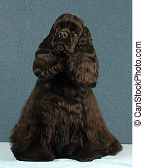 american cocker spaniel - black american cocker spaniel...
