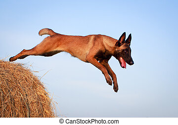 Sheepdog - Malinois Belgian Shepherd dog