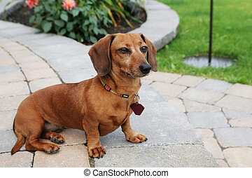 Teckel - Dachshund dog sit on a pavement and do the guardian...