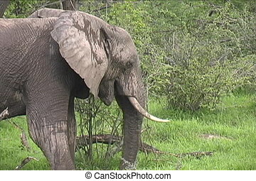 Elephant eating in Ruaha Tanzania Africa - Watching elephant...
