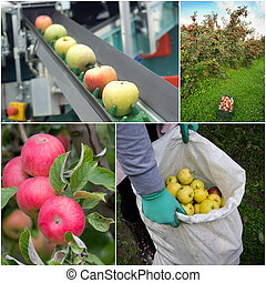 Apple harvesting collage - Collection of apples in orchard...