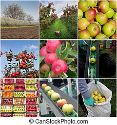 Apple harvesting collage - Collage of apples, in orchard, in...