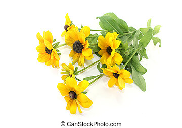 coneflower - yellow coneflower on a white background