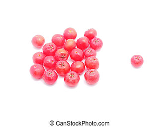 rowan berries on a white background