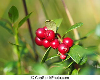 cranberries in the forest