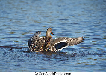 duck on the lake spreads its wings