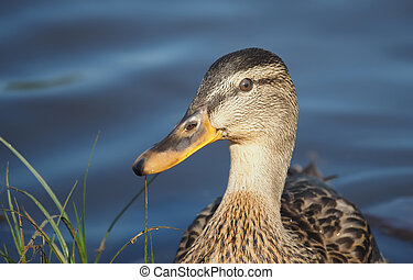 portrait of a duck closeup