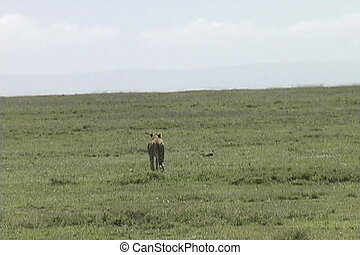 Game running in front of cheetah