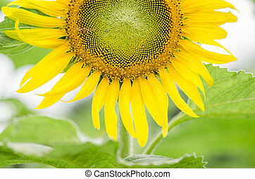 Helianthus or Sunflower in the garden or nature park