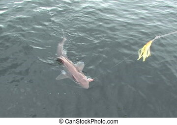 Shark on fishing line