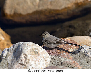 little bird - beautiful little bird wagtail sitting on a...
