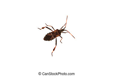 Leptoglossus occidentalis - Western conifer seed bugs...