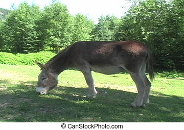 Buck the Donkey - Large donkey eating grass