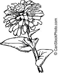 zinnia - hand drawn, sketch illustration of zinnia