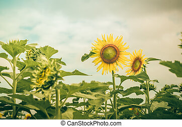 Helianthus or Sunflower vintage - Helianthus or Sunflower in...