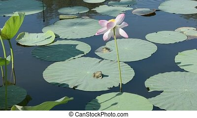 Lotus frogs - Lotus flower in the pond with two frogs on the...