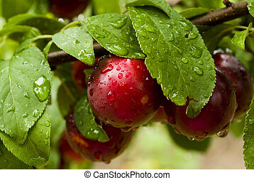 the plums and the dew