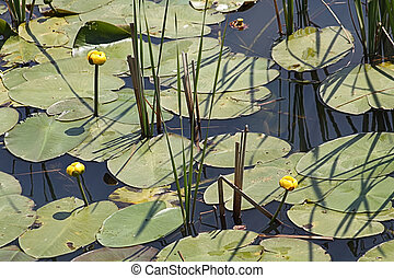 Yellow pond lily - The yellow pond lily is an aquatic plant...