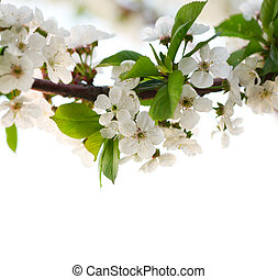 Cherry twig in bloom.
