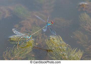 Blue Dragonfly - Two Blue Dragonfly during reproduction time