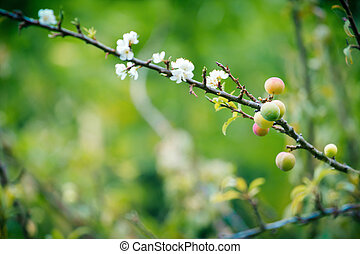 Young Chinese plum fruit and plum blossom (flower) on its...