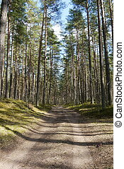 pine tree forest - Beautiful pine tree Latvian forest in...