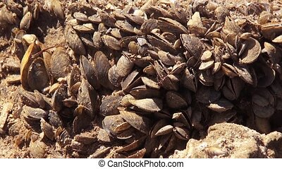 Quagga mussel  - A shot of Quagga mussel by a lake.