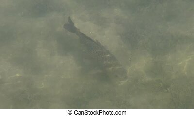 Fish in a lake, low water level - A shot from above of fish...