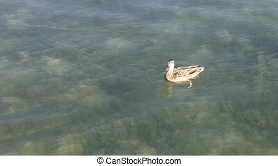 Duck eating, moving away from fish - A duck racing fish to...