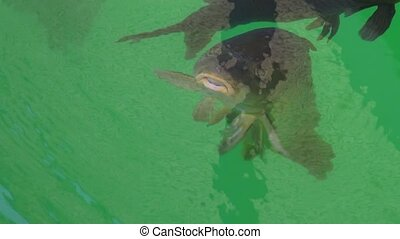 Carp fish, opening its mouth - A shot of carp fish in a...