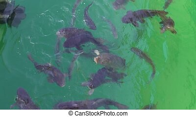 Carp fish, being fed - A shot of carp fish in a lake,...