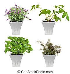 Herbs in Pots - Lavender, angelica, basil and bronze fennel...