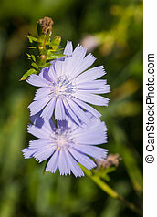 Blossoming chicory in the summer close up
