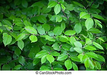 Elm leaves - natural green background - Elm leaves - the...