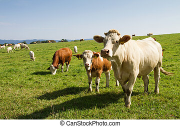 Brown and white dairy cows and bulls in pasture