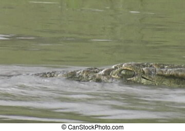 Croc swimming - Croc just on the surface in the Rufiji River...