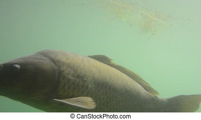 Carp fish, underwater close shot - A close shot of carp fish...