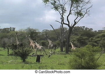 Giraffes running - A lion was near set off panic and a...