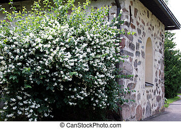 Flowers by the Church - Blossoming Philadelphus coronarius...